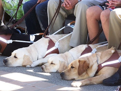 A row of Guide Dogs at a graduation ceremony.