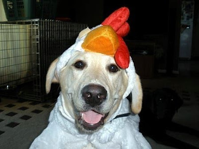 Yellow Lab Acadia dressed in a rooster costume