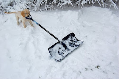 Yellow Lab Kingston with a snow shovel