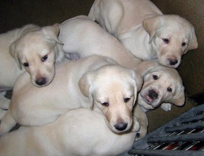A pile of yellow Lab puppies
