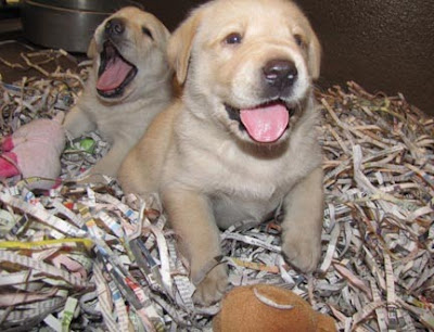 Two OzziexDamsel pups