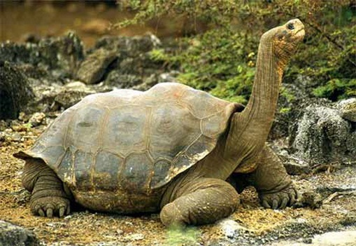 tortoises of the world essay Sulcata tortoises are native to more northern parts of africa (1992) turtles and tortoises of the world facts on file, inc flower, maj ss (1925) contributions to our knowledge of the duration of life in vertebrate animals iii.