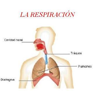 frecuencia respiratoria de adulto: