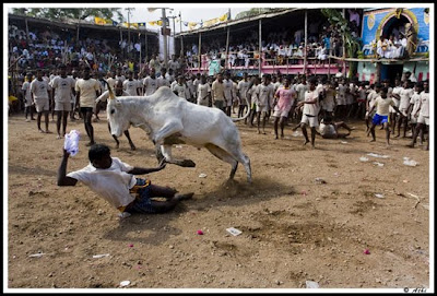 Jallikattu: Taming the Bulls in India Seen On www.coolpicturegallery.net