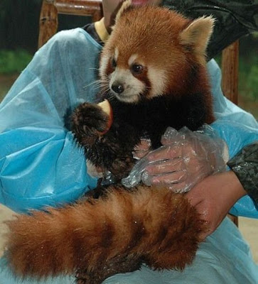 Red Panda Seen On www.coolpicturegallery.net