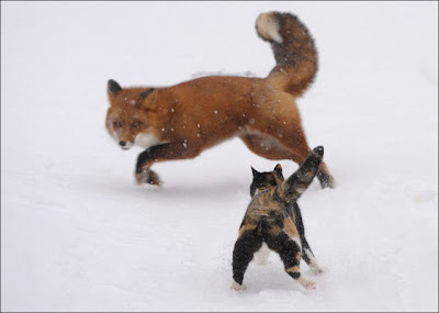 Cat vs. Fox Seen On www.coolpicturegallery.net