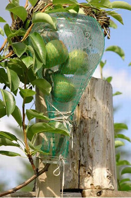Pears in a Bottle Seen On www.coolpicturegallery.net