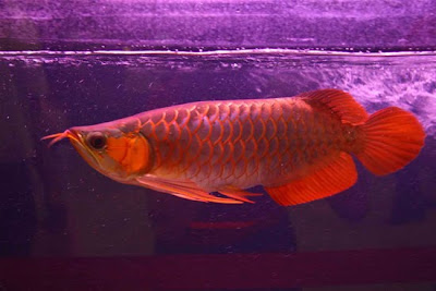 Arowana - The Red Dragon Fish Seen On www.coolpicturegallery.net