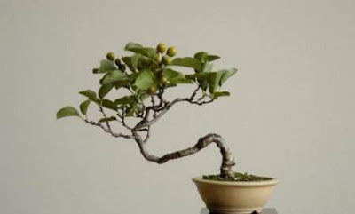 Bonsai trees and their beauty damn cool pictures for Cool bonsai tree