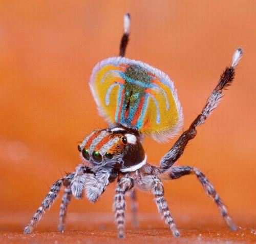 [peacock-spider-02.jpg]