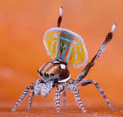 Shkenca dhe gjallesat Peacock-spider-02
