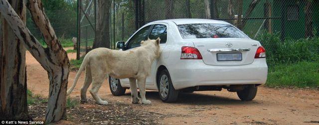 http://4.bp.blogspot.com/_mmBw3uzPnJI/SwKnjA6rVmI/AAAAAAAA3PQ/HSF7wHSowWA/s1600/lion_opens_car_door_04.jpg