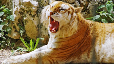 Beautiful Golden Tabby  Tiger Seen On www.coolpicturegallery.us