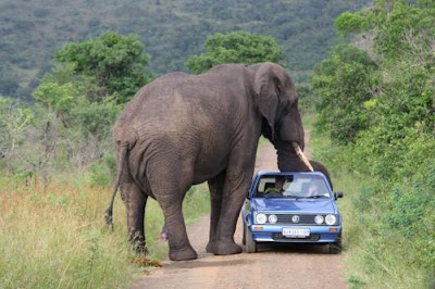 Animal Attacking Car Seen On www.coolpicturegallery.us