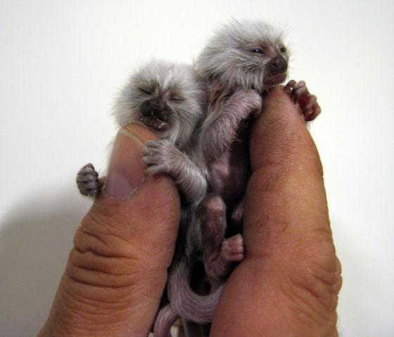 http://4.bp.blogspot.com/_mmBw3uzPnJI/TQje_4PW7nI/AAAAAAAB0oE/lBq5_GQlerw/s1600/finger_monkeys_12.jpg