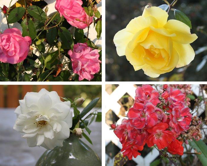 [roses_2.jpg]