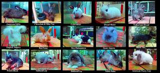 asosiasi kelinci