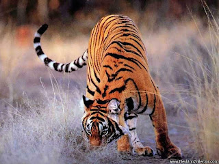 Tiger hunted picure