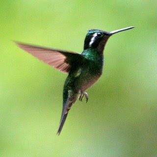 kolibri adalah burung kecil dengan panjang 6 4 cm dan b