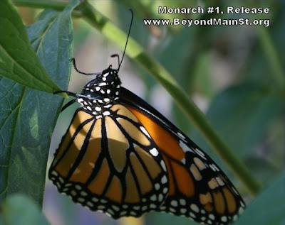 captive monarch release
