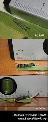 monarch caterpillar progression
