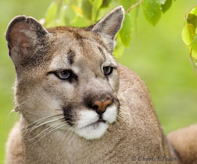 Mountain lion face - photo#1