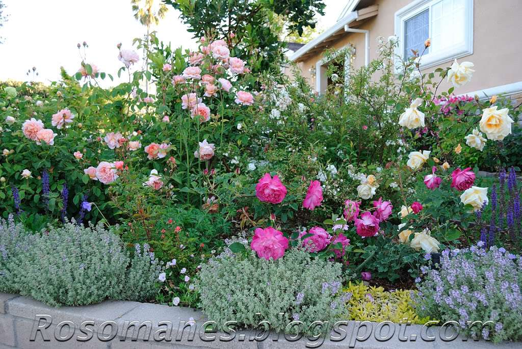Front Yard Landscaping Roses : Rose is a companion plants for roses and some color combos