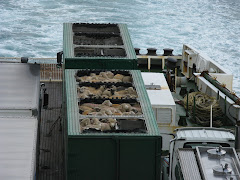 sheep on ferry