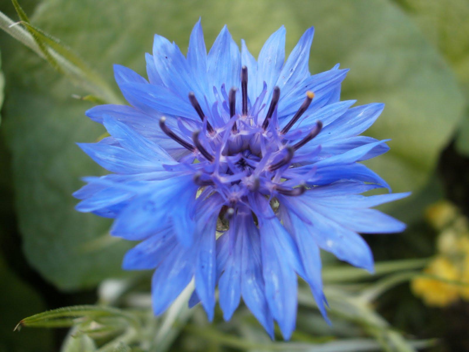 Lees Little Garden Blue & Purple Bachelor Button Cornflower