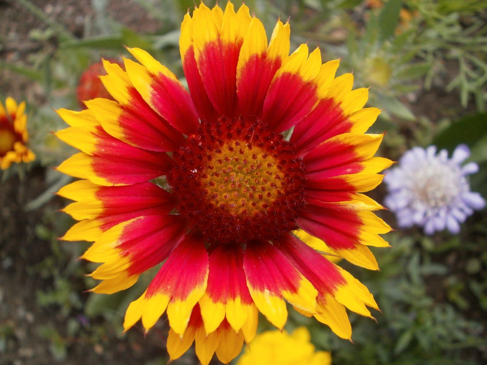 Lees Little Garden Gaillardia Blanket Flower Goblin
