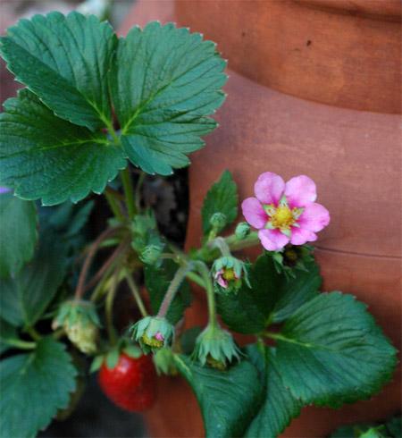 Strawberries in a strawberry pot faithfulness farm mightylinksfo
