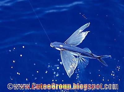 Flying Fish ( Amazing Fish )