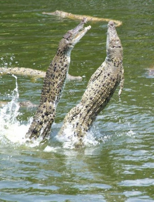 How To Feed Crocodiles