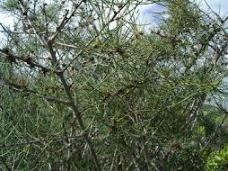 Asparagus arborescens