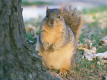 Oregon's famous Squirrel