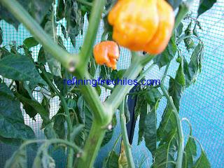 Trinidad Scorpion seeds