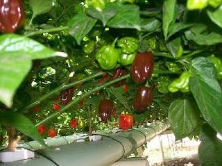 chocolate habanero red savina habanero