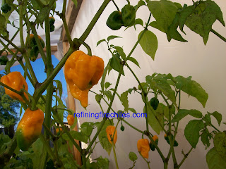 Yellow 7 Pots seeds-Trinidad Scorpion seeds-Chocolate 7 Pod seeds