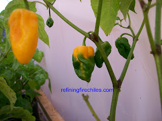 Trinidad 7 Pod, Ghost Pepper, Ghost Chile