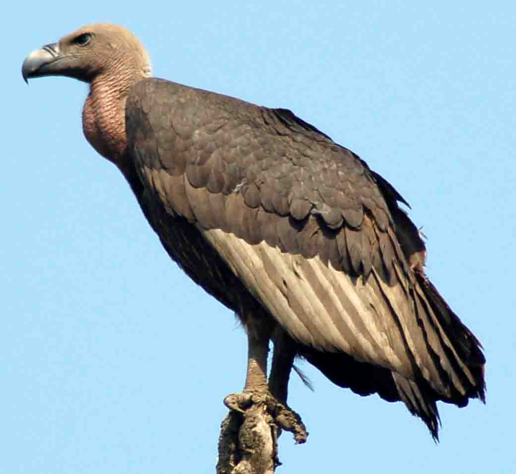 Buzzard vulture difference - photo#23