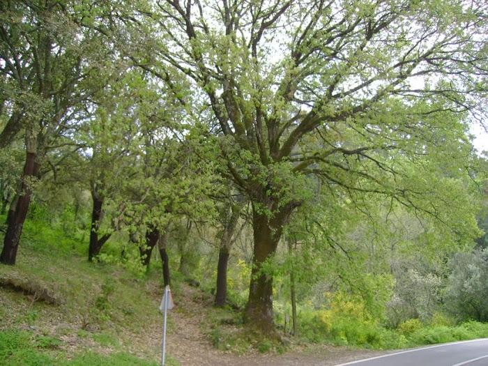 CARVALHO-DE-MONCHIQUE ESPÉCIE PROTEGIDA