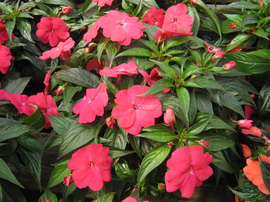 Future plants by randy stewart new guinea impatiens for New guinea impatiens