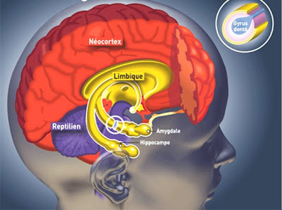 3 cerveaux