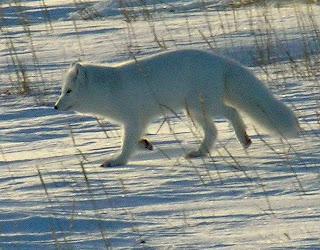 canidae zorro polar Alopex lagopus