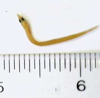 lanza de arena Ammodytes americanus