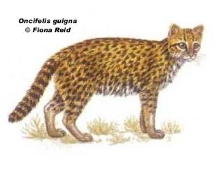 huiña Oncifelis guigna felinos de america del sur