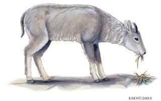 goral gris Naemorhedus goral