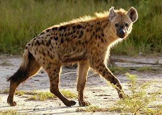 hienidae hiena manchada Crocuta croccuta