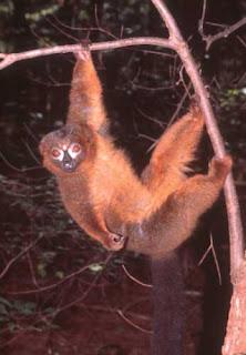 lemur de vientre rojo Eulemur rubiventer