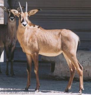 antilope ruano Hippotragus equinus